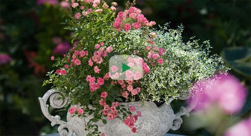 LillyRose - das Garten-Lied zur Terrassen-Rose